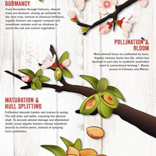 From Tree To Table: Lifecycle Of Organic Almonds